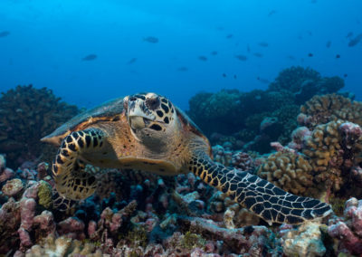 Turtle seen whiule diving with Topdive in Avatoru, Rangiroa-Copyright-Eric-Cheng