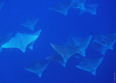 Spotted eagle ray as seen in Rangiroa - Topdive
