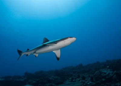 Grey reef shark © Vincent TRUCHET