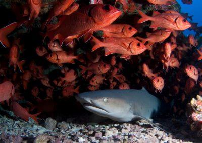 The White tip lagoon shark - Mao Mamaru © Vincent TRUCHET - TOPDIVE.