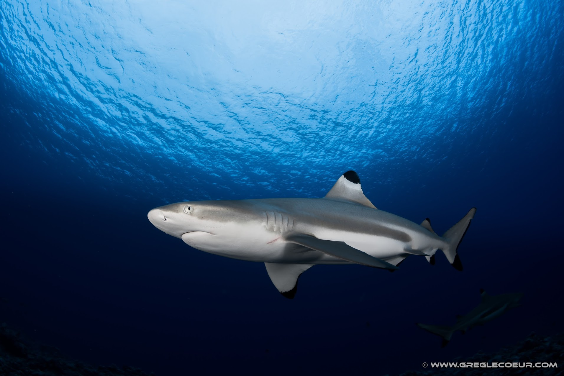 Black tip shark in French Polynesia © greglecoeur