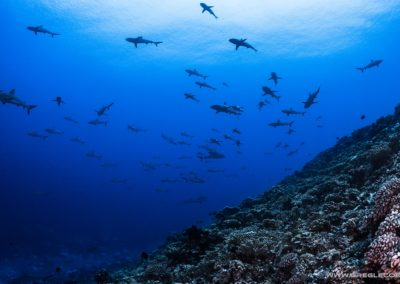 Topdive - Sharks in Rangiroa