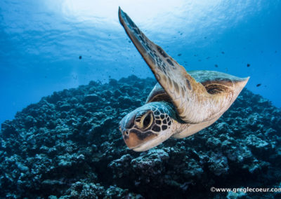 Turtle - Diving in Moorea with TOPDIVE©greglecoeur