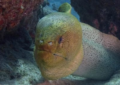Moray eel - Topdive