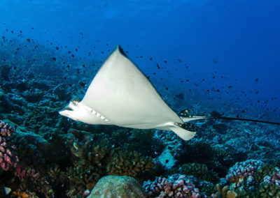 Tetiaroa - Egale spotted ray, dive with Topdive -Photo T-Kotouc