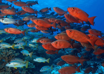 Topdive Fakarava Shoal of red fish