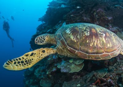 The Hawksbill turtle - Topdive