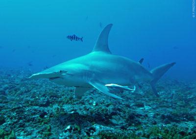 Hammerhead shark - Topdive