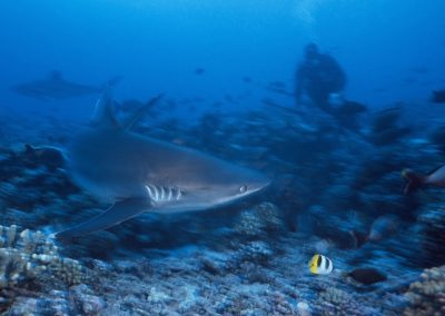 Tapete shark - Diving in Fakarava with Topdive
