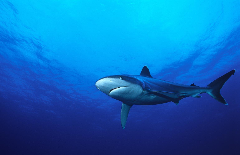 The Tapete shark