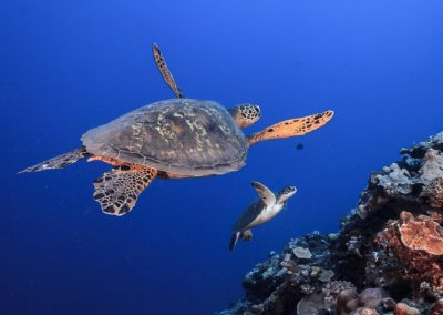 The Hawksbill turtle -Topdive © Tobias FRIEDRICH