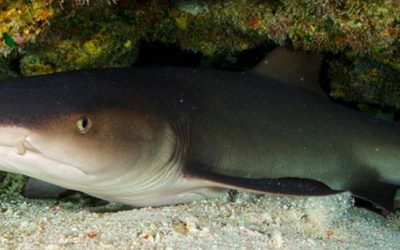 The Nurse shark