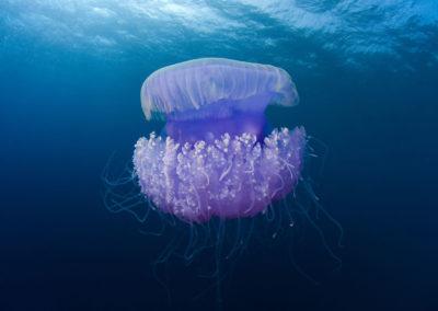 Medusa - Topdive Polynesia
