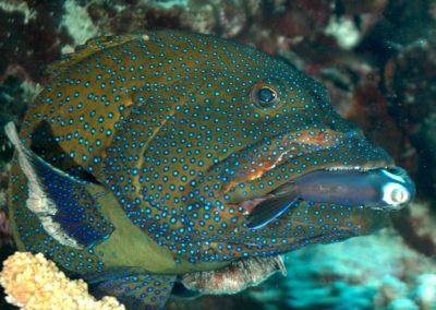 Grouper fish in Fakarava