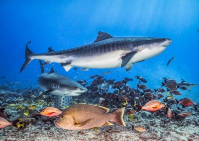Dive with Tiger sharks in Polynesia - Topdive © Tobias FRIEDRICH