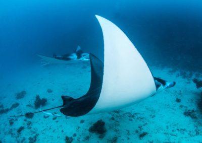 Manta ray - Topdive