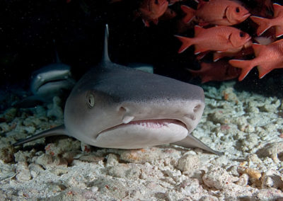 The White tip lagoon shark