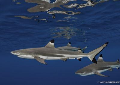 Lagoon Black tip sharks © greglecoeur