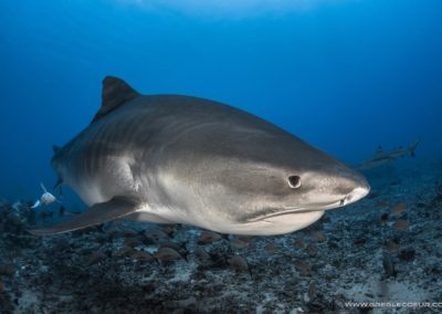 Dive with Tiger Shark and Topdive in Tahiti © greglecoeur