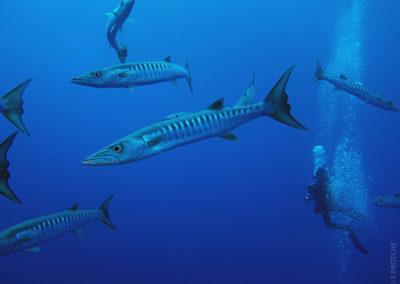 Barracudas in Tetiaroa whjile diving with TOPDIVE Polynesia -photo F.PROTCHE