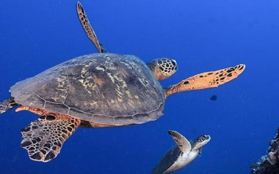 The Hawksbill turtle