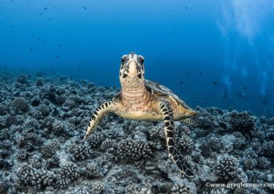 The Hawksbill turtle - Topdive ©greglecoeur