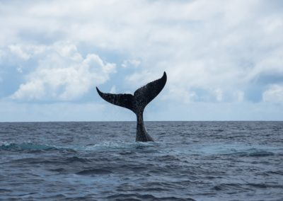 Humpback whale in Polynesia - Topdive