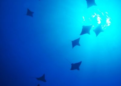 Shoals of spotted eagle rays - Dive with Topdive